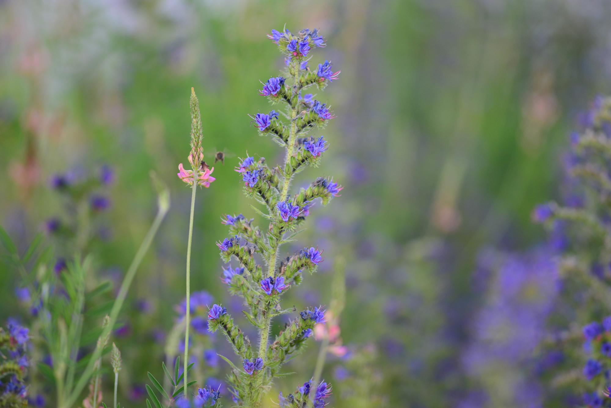bienen-fliegen-durch-eine-blumenwiese-und-sammeln-nektar-und-pollen